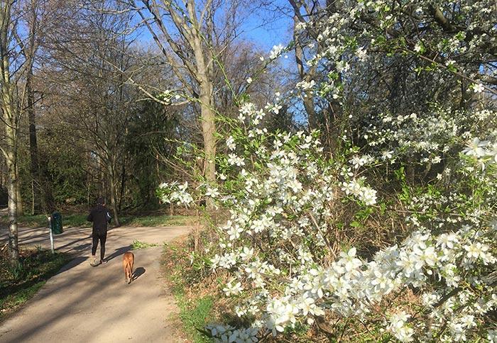 Weiß blühender Busch, im Hintergrund Läufer mit Hund
