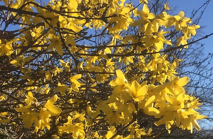 Strahlend gelb blühende Forsythie
