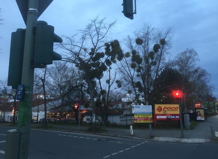 Winterkahle Bäume mit vielen Misteln an einer Kreuzung