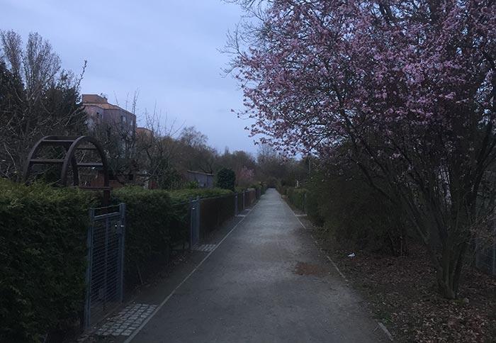 Kleingarten-Weg mit blühendem Kirschbaum