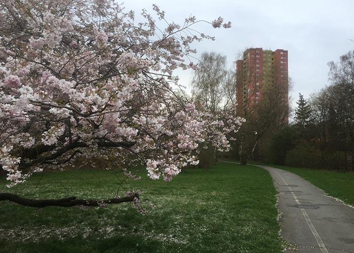 Weiß-rosa blühender Baum am Parkweg, im Hintergrund ein Hochhaus