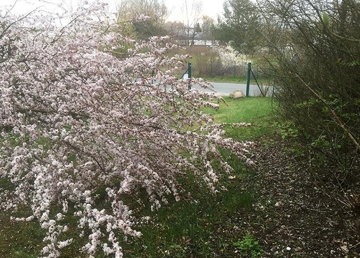 Umgestürzter weiß blühender Baum liegt über den Weg