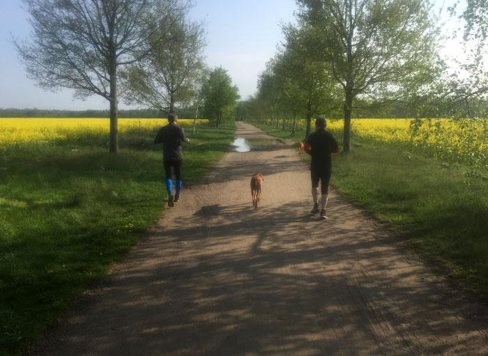 Läufer mit Hunden zwischen gelb blühenden Rapsfeldern