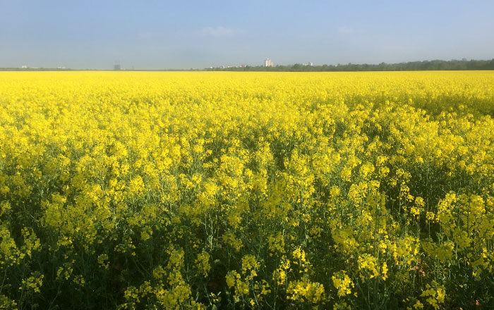 Blick über ein großes gelbes Rapsfeld