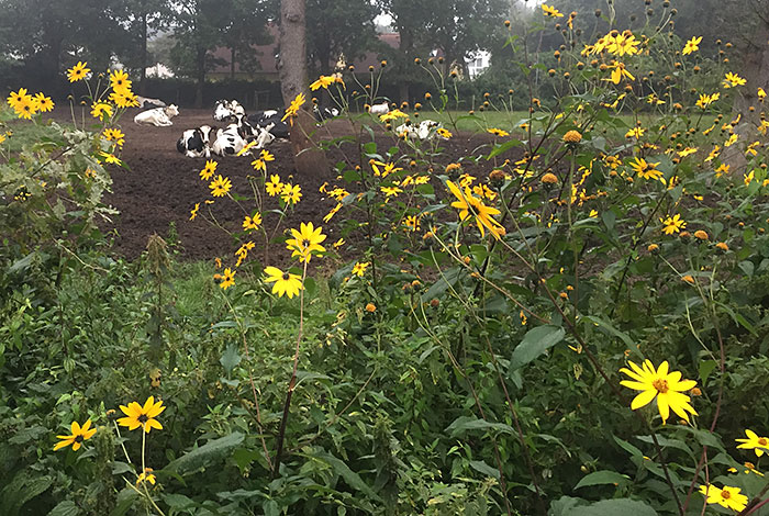 Hecke aus gelben Blumen vor einer im Hintergrund liegenden Gruppe schwarz-weißer Kühe