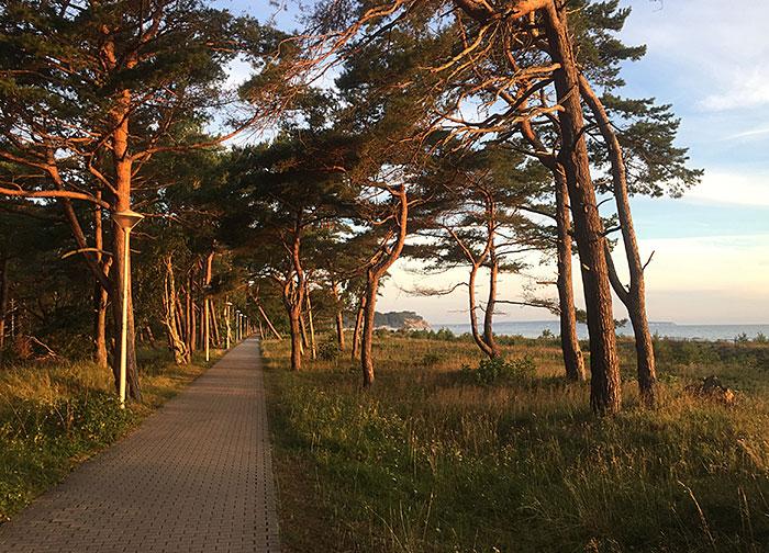 Von der Morgensonne orange beleuchtete Kiefern an der Strandpromenade